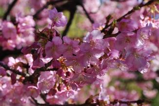 Early sakura bloomed near the hot springs of Ito